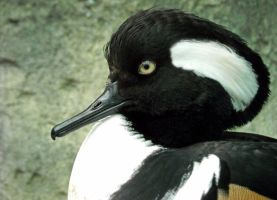 Merganser by soyrwoo
