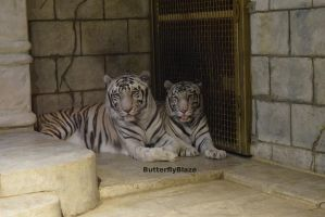 White Bengal Tigers #4 by ButterflyBlaze