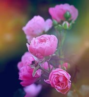 shrub roses by SvitakovaEva