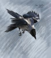 Crow swoop by makangeni