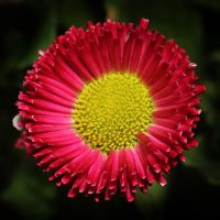 Bellis Perennis 03 by s-kmp