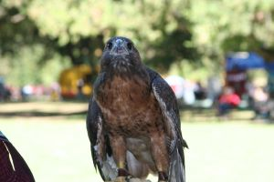 Hawk Stock by HorseStockPhotos