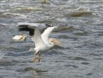 Rock River Pelicans 25 - Walking on Water by Windthin