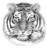 Another tiger by Amandia