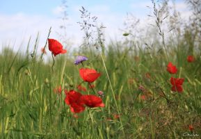 Poppies by oxalysa