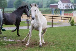 Grey Warmblood Spooking on Pasture by LuDa-Stock