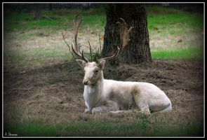 White Deer by Phantom-Tora