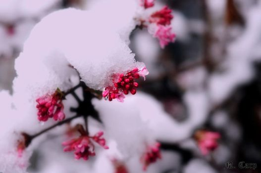 Flower buds in the snow by Bass4819