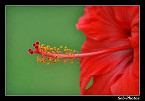 Hibiscus by Seb-Photos