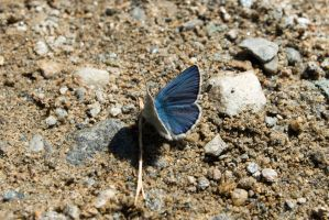 Blue butterfly by Seafoxmccloud