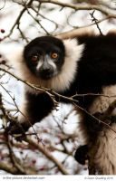 Lovely Lemur by In-the-picture