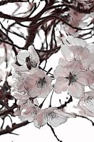 blossoming blossoms2 by boycott-love43