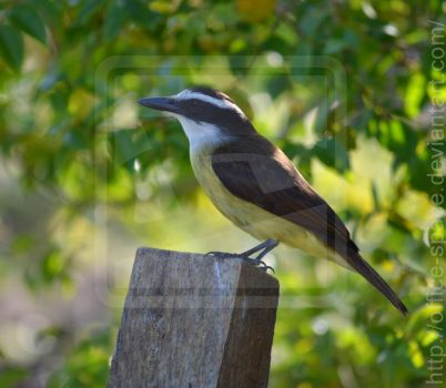 Spotted: Great Kiskadee by Office-Space