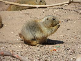 Prairie Dog (2) by LeraDraco69