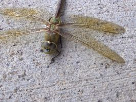Dragonfly 6 by Skalski-Stock