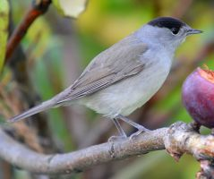 Blackcap by nordfold