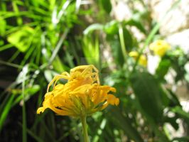 Yellow Crab Spider I by Maltese-Naturalist