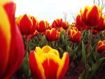 -Tulips by daejanggeum