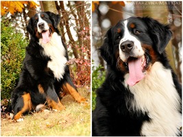 Bernese Mountain Dog by kataszynoviec