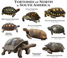 Tortoises of the Americas by rogerdhall