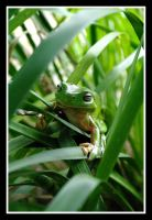 Green Tree frog 1 by SuperSal001
