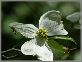 One deep forest dogwood flower by Mogrianne