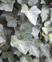 Leaf Texture 4---Ivy by ErrantDreams