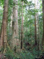 Mature Rainforest by austringer