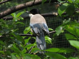 Azure-winged Magpie by animalphotos