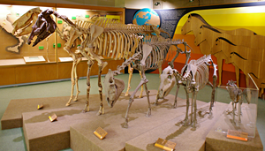 Skeleton of the horse: from past to present day by Lynus-the-Porcupine