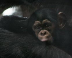 Chimpanzee 3 by Globaludodesign
