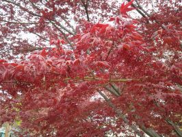 Red Maple by GUDRUN355