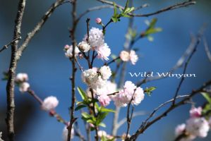 Spring again by WildWinyan