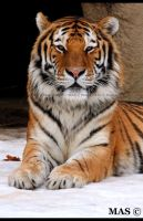 Amur Tiger_3571 by MASOCHO