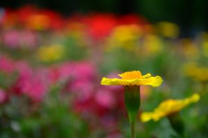 Colourful Flowers by AmmarkoV1
