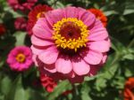 Symmetrical Zinnia by 4TheLoveOfNature
