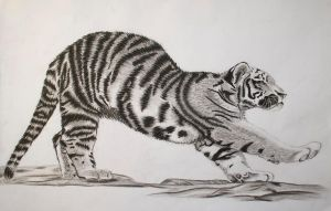 Stretching Tiger by RichardFrost
