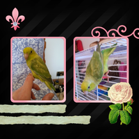 Olive the Parrotlet by CuriousCreatures