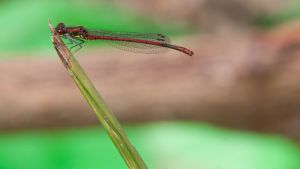 Large Red Damselfly 1600x900 2 by aradilon