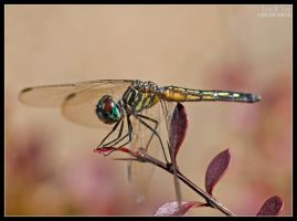 Small Dragonfly by eccoarts