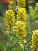 Yellow Lupine by solusauroraborealis