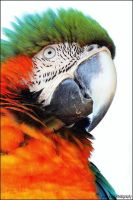 Harlequin macaw. by Evey-Eyes