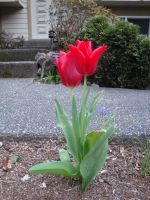 tulips 01 by goblincreations
