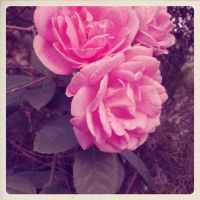 3 Roses by praveen3d