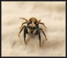 Baby Jumping spider by Vitaloverdose