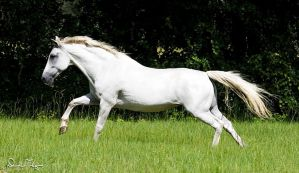 Andalusian Mare - Belleza by Deirdre-T