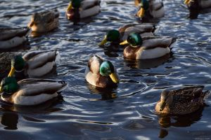 Mallards by WickedOwl514