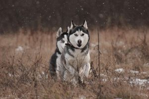 Huskies 2263 by DeingeL-Dog-Stock