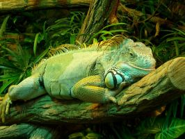 Green Iguana by Tienna