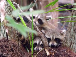 Bundle of Raccoons by gRiM-sTrEaKeR